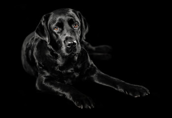 Black Labrador studio portrait on black and white background