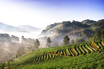 The beautiful Landscape of strawberry plantation in the morning with the mist blue sky and sunlight at Ban Nor Lae, Doi Ang Khang, Chaing Mai, Thailand. Fototapete