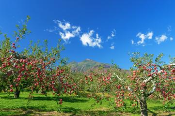 【青森県弘前市りんご】岩木山麓津軽の秋、りんご園は収穫中
