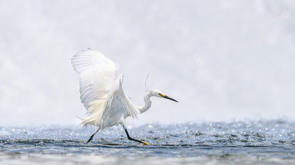 Hunting and dancing on the surface of water white egret portrait