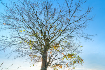The old Bodhi tree is in the time of changing leaves in winter when the sun shines through the tree to welcome the new day in the highlands of Vietnam.