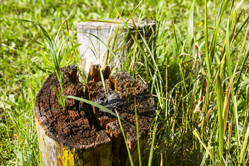 Grass sprouted through the stump