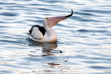 Pelican feeding on fish