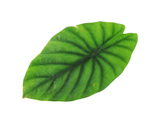 Elephant Ear or Anthurium Green Leaf Isolated on White Backgrond