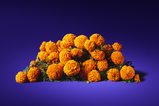 flowers of cempasuchil on a purple background