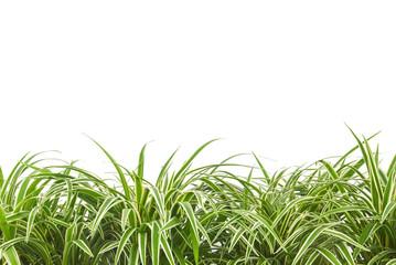 ornamental plant,chlorophytum ,variegatum,comosum or spider plant isolated on white background, copy space