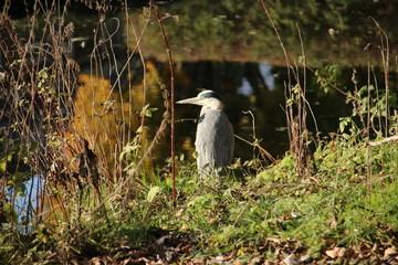 hunting heron in the autumn season in public park Schakenbosch in Leidschendam