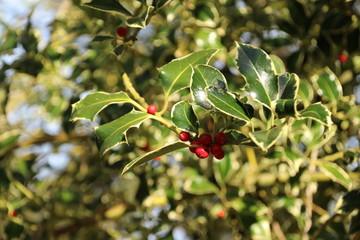 Holly with red berries in the autumn season in public park Schakenbosch in Leidschendam
