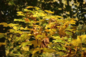 Fruits of the sycamore tree in the autumn season in public park Schakenbosch in Leidschendam