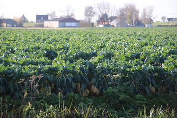 Field filled with brussels sprouts plant in the sun waiting to grow in Zevenhuizen the Netherlands