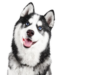Portrait of a blue eyed beautiful smiling Siberian Husky dog with tongue sticking out isolated on white background with copy space