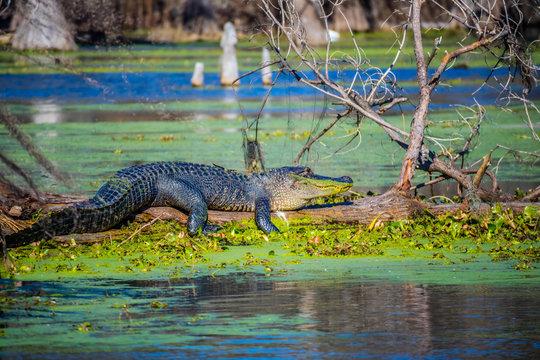 A large American Crocodile in Abbeville, Louisiana
