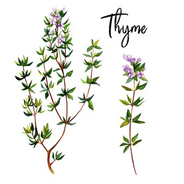 Thyme branches with flowers, watercolour illustration