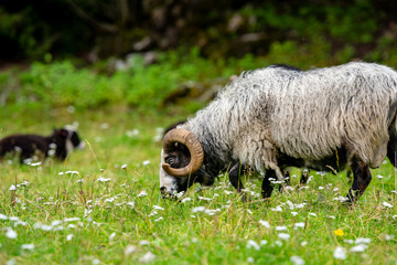 Male sheep grazing grass