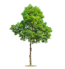 Tree isolated on white background. Beautiful and robust trees are growing in the forest, garden or park.
