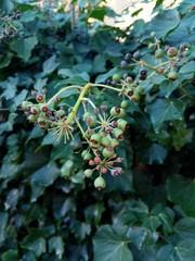 Green berry