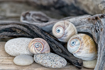 still life with shark's eye shells and driftwood, mollusk,
