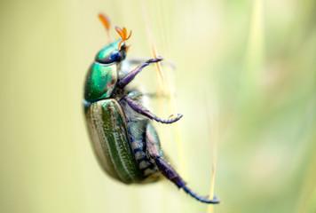 coleottero verde su uno stelo di grano