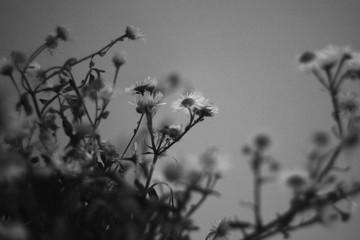 jar of dried flowers herbarium photo black and white many daisies