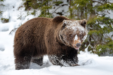 Big brown bear in winter forest