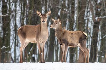 Fototapete - Female doe deer in winter forest
