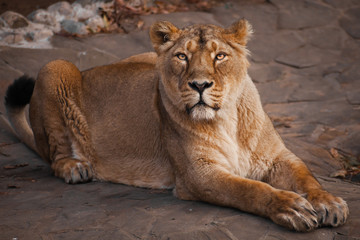 lioness is a strong and beautiful animal, demonstrates emotions.