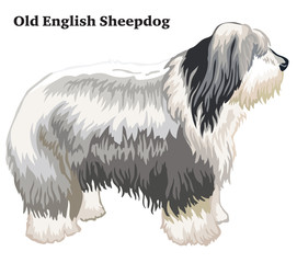 Colored decorative standing portrait of Old English Sheepdog vector illustration
