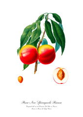 Italian peach vintage illustration. Watercolour drawing art.