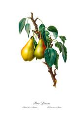 Watercolor vintage Pear art poster