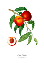 Vintage botanic illustration of red peach.