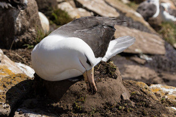 Black-browed Albatross sits on his nest and grabs dirt with his beak to reinforce the nest on Saunders Island, Falkland Islands