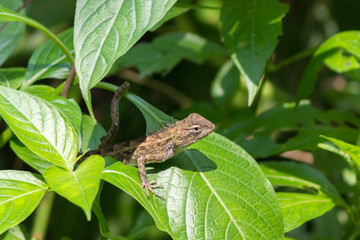 brown lizard sits on green tropical leaves and basks in the sun