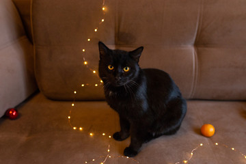 Dark cat on the background of a brown sofa, festive lights and tangerines