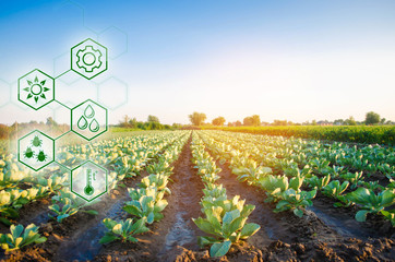 Cabbage in the field. High technologies and innovations in agro-industry. Study quality of soil and crop. Scientific work and development of new methods and selection of varieties Investing in farming Wall mural