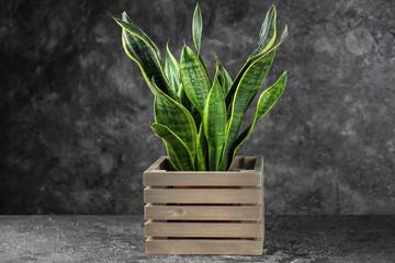 Decorative sansevieria plant on grey table Fotomurales