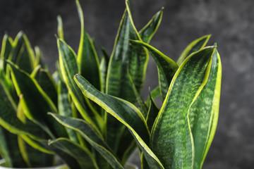Decorative sansevieria plants, closeup Fotomurales