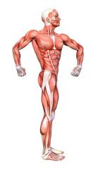 3D Rendering Male Anatomy Figure on White