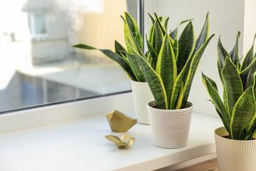 Decorative sansevieria plants on windowsill Fotomurales