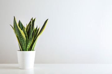 Photo sur Aluminium Vegetal Sansevieria plant in pot on white table