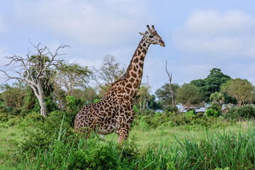 Long Neck Spotted Giraffes in the Mikumi National Park,  Tanzania