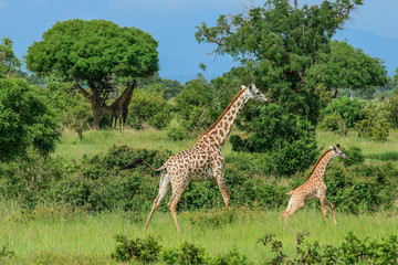 Long Neck Spotted Giraffes in the Mikumi National Park,  Tanzania Wall mural
