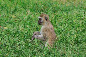Wild Monkey in the Mikumi National Park, Tanzania
