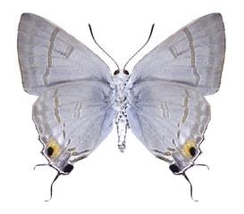 Butterfly Hypolycaena erylus (male) (underside) on a white background