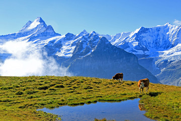 View from First to Bernese Alps, Grindelwald, Bernese Oberland, Canton of Bern, Switzerland