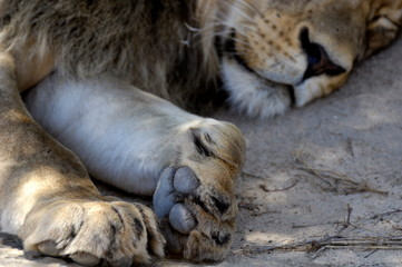 Close-up of lion's paw, Kgalagadi Transfrontier Park, South Africa, Africa