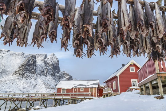 Codfish, typical product of the Lofoten Islands exported all over the world after being dried outdoors. Hamnoy, Lofoten Islands, Arctic, Norway, Scandinavia, Europe