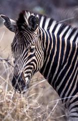 Door stickers Zebra Plains Zebra, (Equus burchellii), Kruger National Park, Mpumalanga, South Africa, Africa