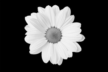 Black and white flower in isolation on a black background. For designers .