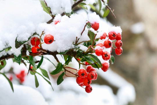 Red berries (cotoneaster horizontalis) under snow