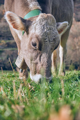 Cow pasturing on meadow